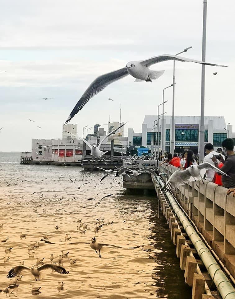 นกนางนวล ที่สถานพักตากอากาศบางปู จ.สมุทรปราการ