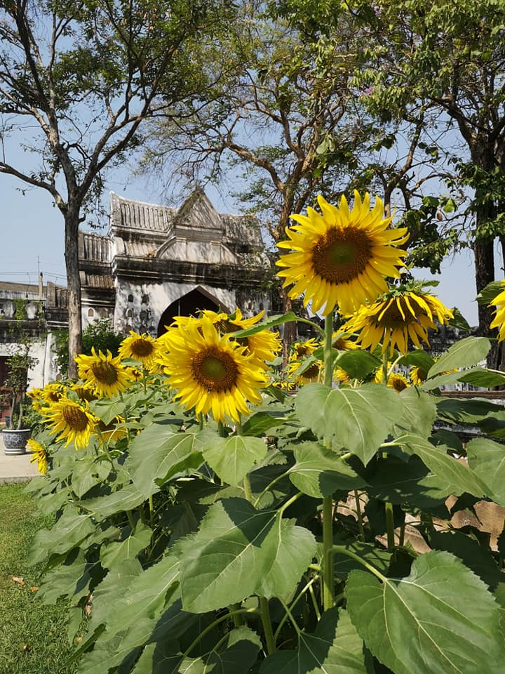 ดอกทานตะวัน สัญลักษณ์เมืองลพบุรี