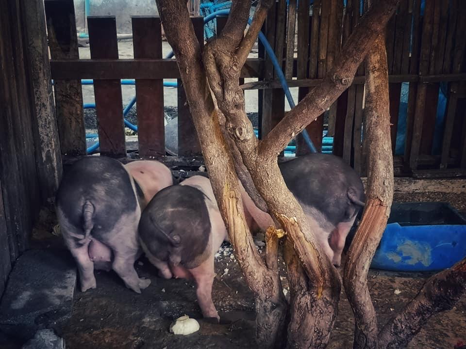 ร้าน The Three Little Pigs Farm